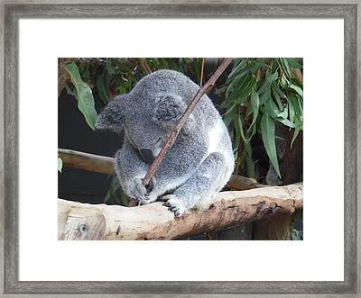 Tired Koala Bear With Stick Framed Print