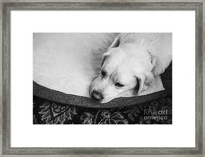 Tired Pup Framed Print by Diane Diederich