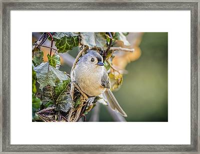 Titmouse And Ivy Framed Print