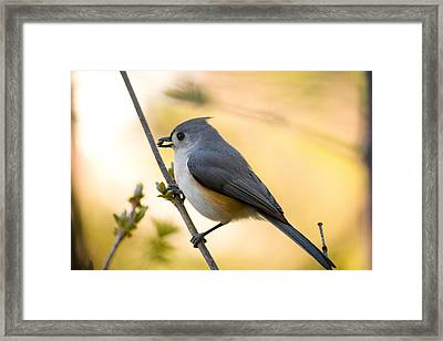 Titmouse In Gold Framed Print