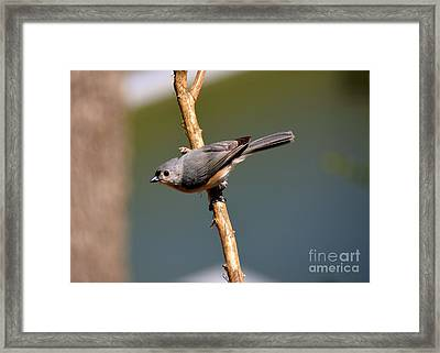 Framed Print featuring the photograph Titmouse by Lisa L Silva
