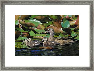 Tk0719, Thomas Kitchin Wood Duck Hen Framed Print by Thomas Kitchin & Victoria Hurst