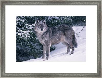T.kitchin, 19821c Gray Wolf, Winter Framed Print by First Light