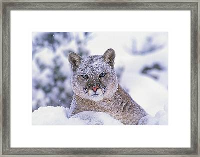 T.kitchin 19940c, Mountain Lion Framed Print by First Light