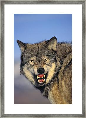T.kitchin Wolf Snarling Framed Print by First Light