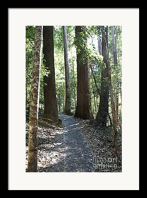 Queensland Kauri Pine Framed Prints