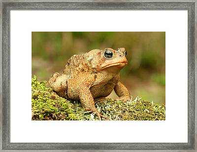Toad Framed Print by John Bell