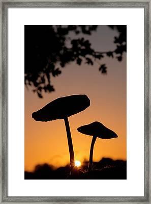 Toadstools At Sunset Framed Print