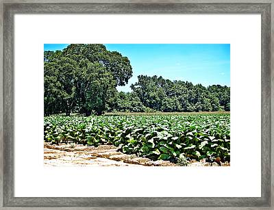 Framed Print featuring the photograph Tobacco Field by Linda Brown