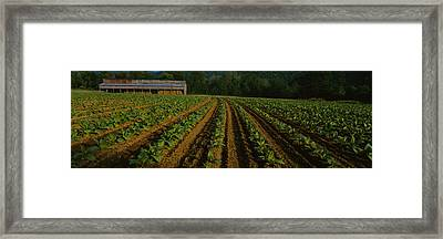 Tobacco Field With A Barn Framed Print by Panoramic Images