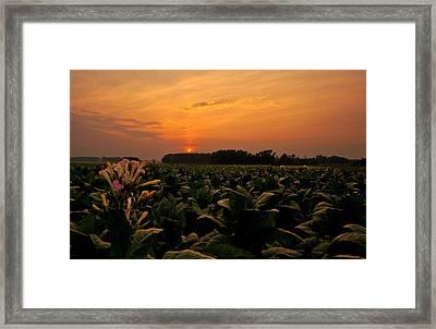 Tobacco Flowers At Dawn  Framed Print