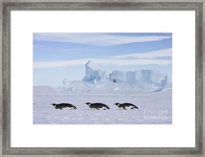 Tobogganing Emperor Penguins Framed Print by Jean-Louis Klein and Marie-Luce Hubert