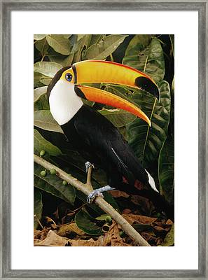 Toco Toucan Ramphastos Toco Calling Framed Print by Claus Meyer