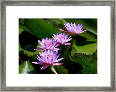 Together We Bloom - Violet Lily Framed Print by Ramabhadran Thirupattur