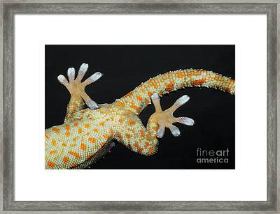 Tokay Gecko Feet Framed Print by Fletcher and Baylis
