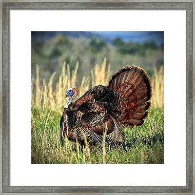 Tom Turkey Framed Print by Jaki Miller