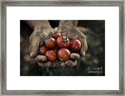 Tomato Harvest Framed Print