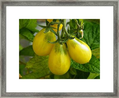 Tomato Triptych Framed Print