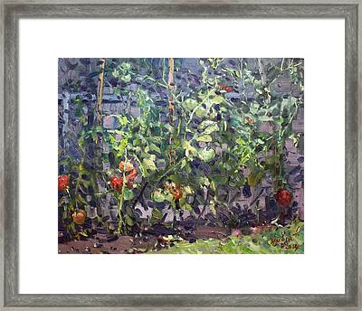 Tomatoes In Viola's Garden  Framed Print by Ylli Haruni