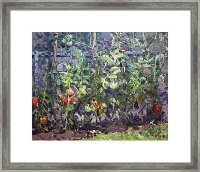 Tomatoes In Viola's Garden  Framed Print