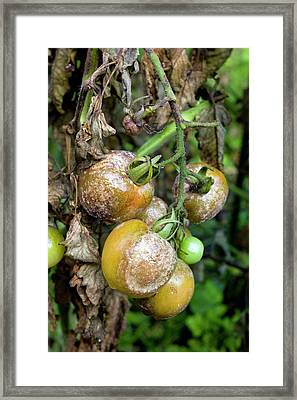 Tomatoes Infected With Late Blight Framed Print by Dr Jeremy Burgess