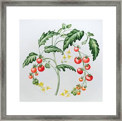 Tomatoes Framed Print by Sally Crosthwaite