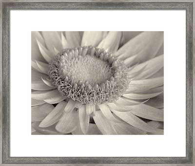 Toned Strawflower Framed Print by David and Carol Kelly