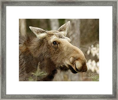Too Close For Comfort Moose In Algonquin Provincial Park Framed Print by Inspired Nature Photography Fine Art Photography