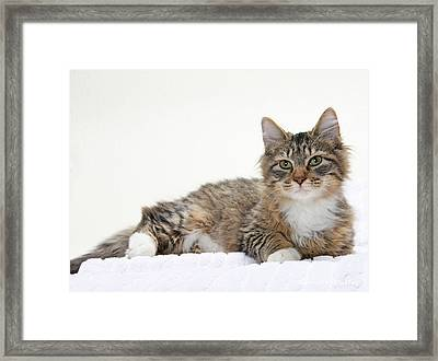 Too Cute Tabby  Framed Print