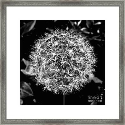 Tooth Of The Lion Framed Print by Scott Allison