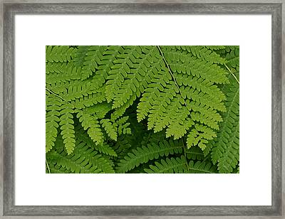 Toothed Ferns Framed Print by Gail Maloney