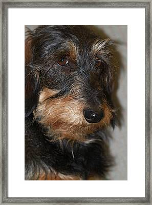 Top Dog Wirehaired Dachshund In Wooster Ohio Framed Print by  Andrea Lazar