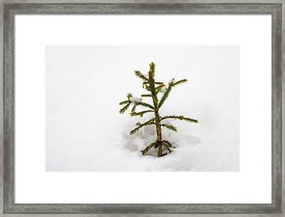 Top Of A Green Conifer Tree With Lots Of Snow In Winter Framed Print