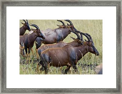 Topi On The Move Framed Print by Pravine Chester