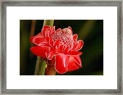 Framed Print featuring the photograph Torch Ginger by Lorenzo Cassina