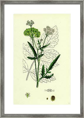 Tordylium Maximum Great Hart-wort Framed Print by English School
