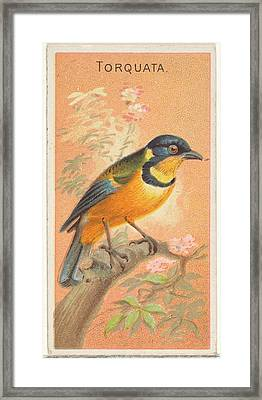 Torquata, From The Birds Of The Tropics Framed Print