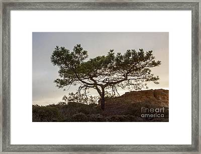Torrey Pine Tree Framed Print by Darleen Stry