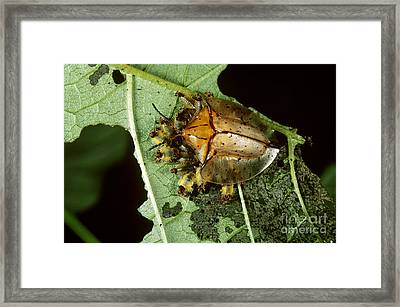 Tortoise Beetle With Young Framed Print by Gregory G. Dimijian, M.D.