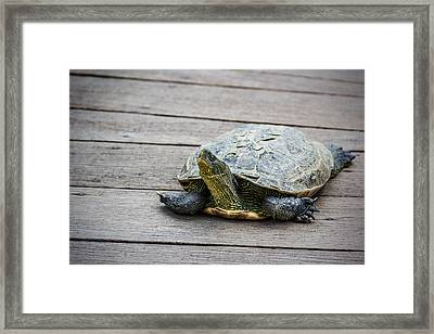 Tortoise On A Wooden Bridge Framed Print