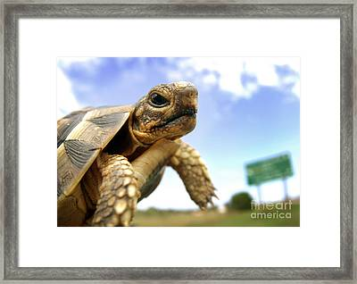 Tortoise On Roadside Framed Print
