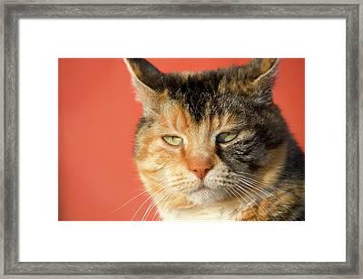 Tortoiseshell Cat In Front Of Red Barn Framed Print