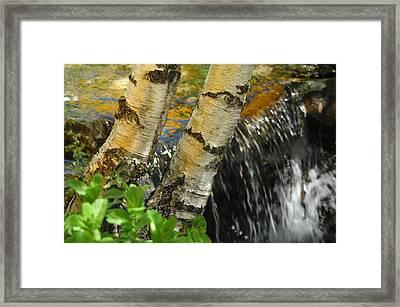 Totally Birching Framed Print by Donna Blackhall