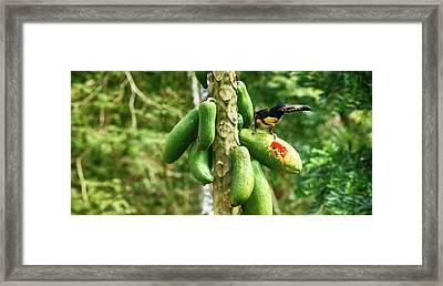 Toucan Bird Feeding On Papaya Tree Framed Print by Panoramic Images