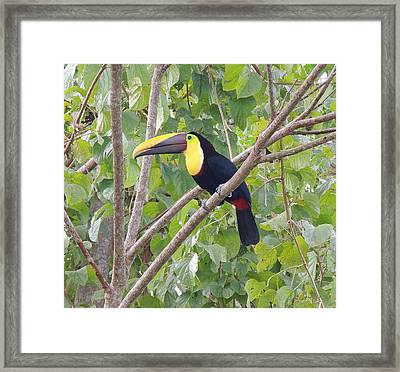Toucan Framed Print by Gregory Young