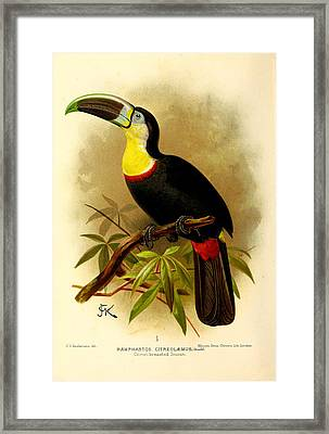 Toucan Framed Print by Rob Dreyer