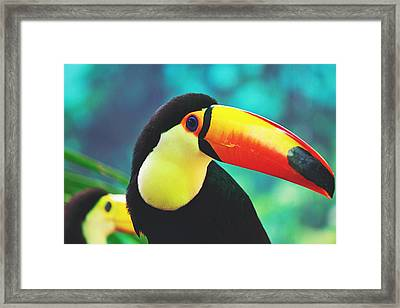 Toucan Framed Print by Pati Photography