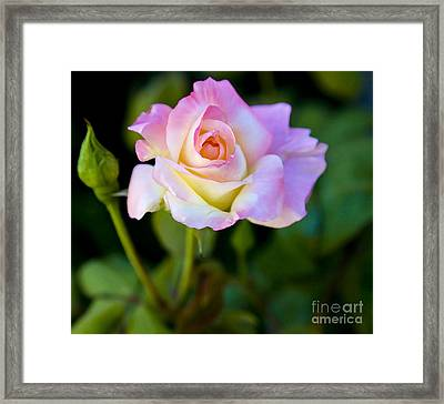 Rose-touch Me Softly Framed Print by David Millenheft