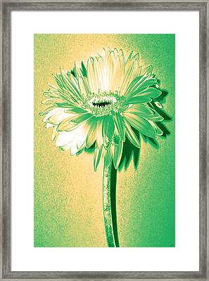 Touch Of Turquoise Zinnia Framed Print by Sherry Allen