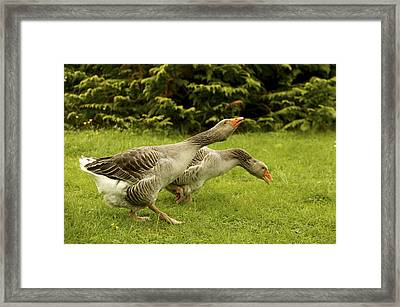 Toulouse Geese Framed Print by Jean-Michel Labat